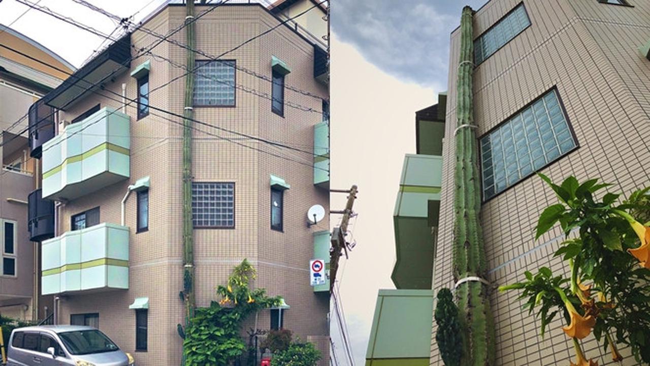 Tumbuh Setinggi Gedung 3 Lantai, Kaktus Ini Viral di Media Sosial